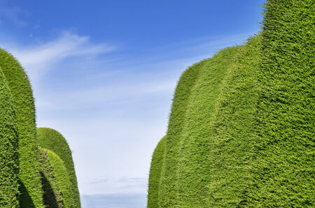 green juniper hedge aisle with sky background Stock Photo - 24878853