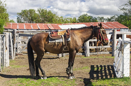 hitched: horse saddled up and tied to a fence in Patagonia Chile near Punta Arenas