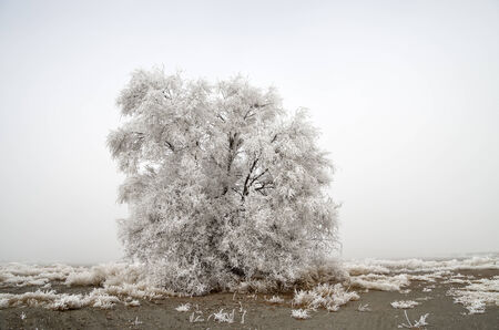 hoar frost: ghostly tree covered in hoar frost on a cold foggy day Stock Photo