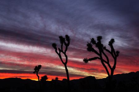 joshua tree: joshua trees silhouetted against a colorful sunset at Joshua Tree National Park California Stock Photo