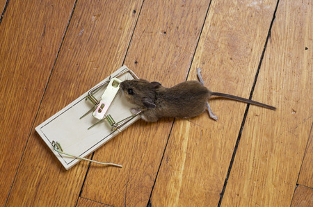 dead mouse caught in a trap on a wood floor