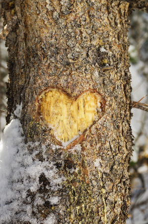heart carved into the bark of a pine tree trunk with some snow