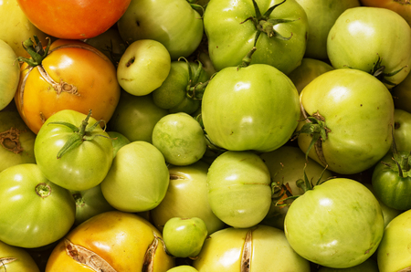 ripen: unripe garden tomatoes picked before the first frost to ripen indoors