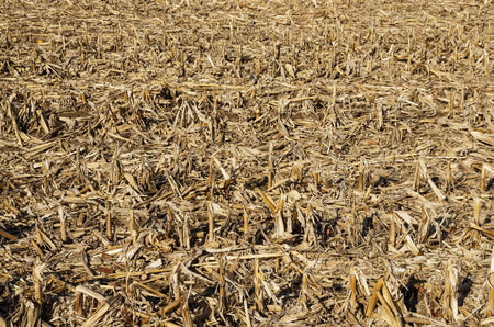 corn field after harvest with stover the broken stalks leaves and cobs