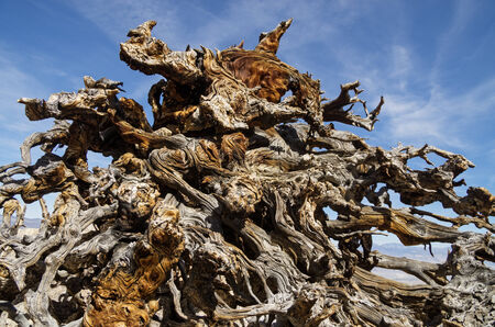 contorted: exposed and weathered pine tree root system with contorted branches Stock Photo