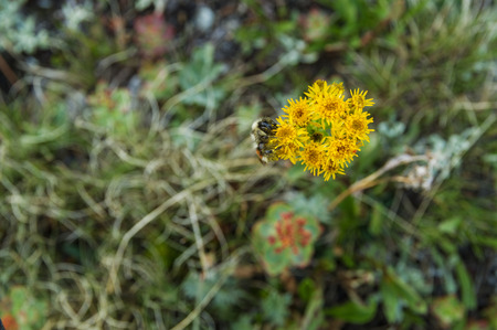a lone bee pollinates yellow wildflowers