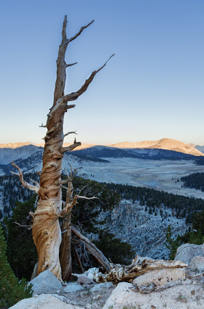 pacific crest trail: old dead mountain pine tree in the Southern Sierra Nevada Mountains along the Pacific Crest Trail