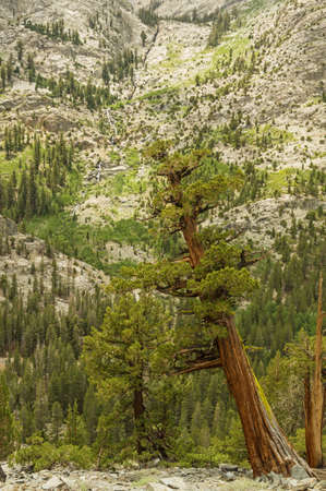 joaquin: western juniper trees in the South Fork of the San Joaquin River canyon