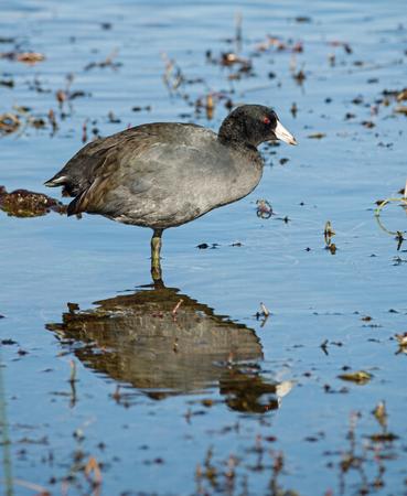 waterbird: american coot or Fulica americana waterbird standing in shallow water