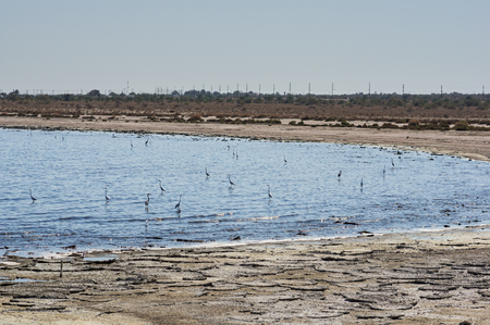 and egrets: Egrets and Herons in the Salton Sea in California Stock Photo
