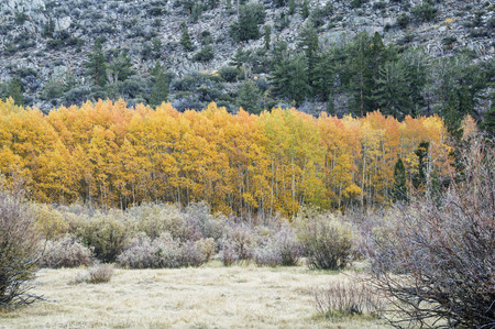 drab: grove of golden aspen trees with bright yellow leaves surrounded by more drab plants