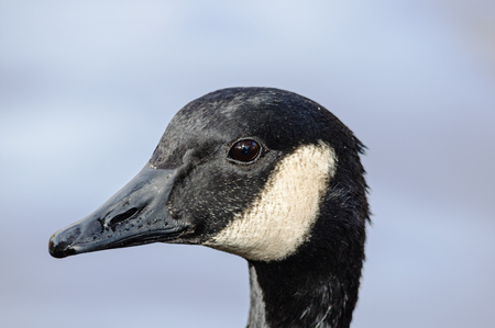 goose head: Branta canadensis or Canada Goose head portrait with blue background