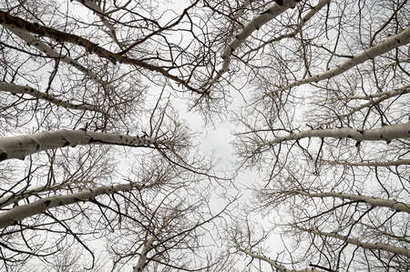view up into bare aspen branches on a gray overcast day