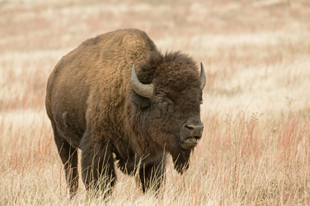 bison or American buffalo in prairie field with open mouth