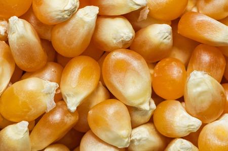 macro image of unpopped popcorn kernels