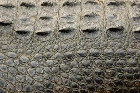 American alligator skin background texture showing side and back scales
