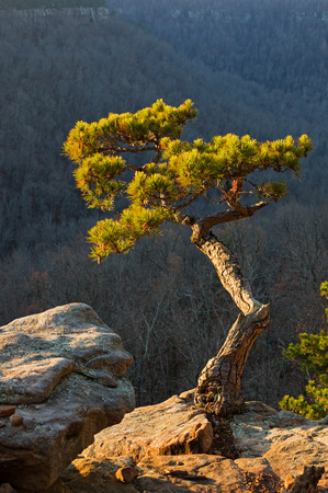 edge of cliff: pine tree growing on cliff edge lit up by early morning light Stock Photo