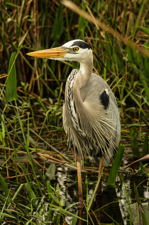 great blue heron or Ardea herodias wading in a swamp Stock Photo