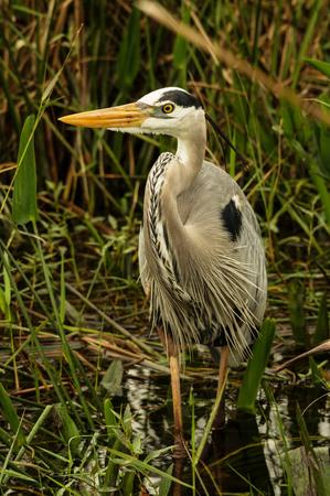 herodias: great blue heron or Ardea herodias wading in a swamp Stock Photo
