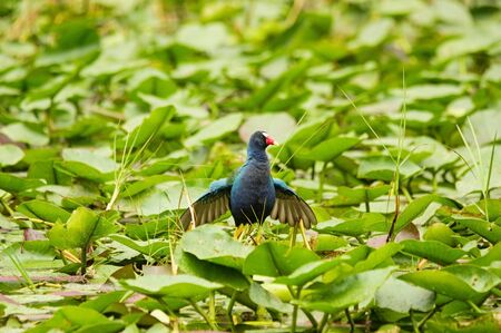purple gallinule or Porphyrula martinica bird walking on leaves in the Everglades swamp Stock Photo