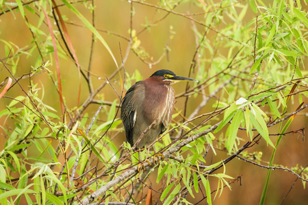 green heron or Butorides virescens perched on a branch in the Everglades National Park