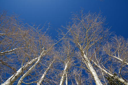 looking up into sun lit bare aspen tree tops with a blue sky