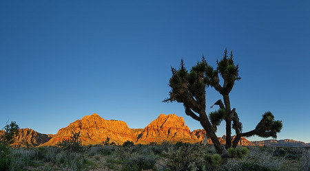 red rocks: panorama of Red Rocks mountains lit by morning light with joshua tree and blue sky copy space