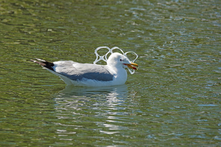 gull with its head caught in a plastic six-pack holder pollution Stock Photo