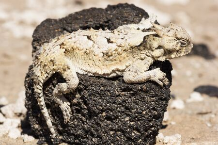 southern desert horned lizard or Phrynosoma platyrhinos calidiarum on a black lava rock in Death Valley National Park Stock Photo