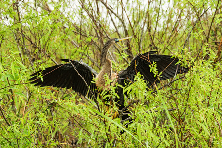 attempts: female anhinga or snake bird attempts to dry its wings in the Everglades in the rain Stock Photo
