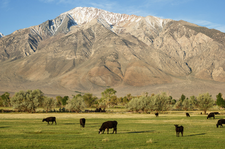 mount tom: cattle grazing in a green field below Mount Tom in Round Valley California