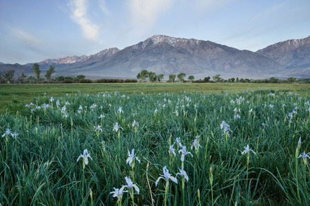 mount tom: Mount Tom stands behind a field with wild iris flowers in Round Valley California Stock Photo