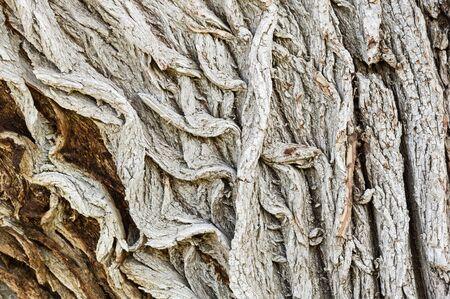 cottonwood tree: rugged rough bark on an old cottonwood tree