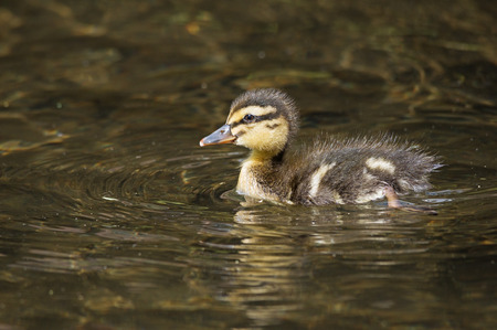 mallard duck duckling swimming in a creek photo