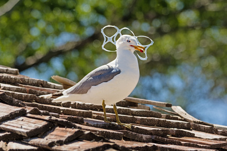 Sea gull trapped in plastic six pack holder pollution Stockfoto