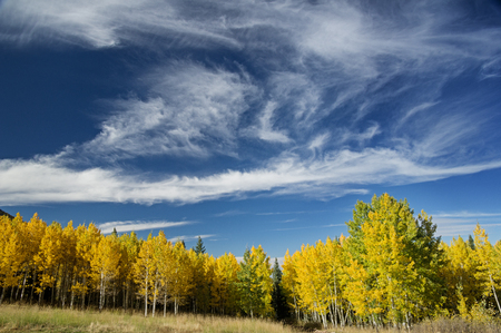 aspen trees in the fall with yellow leaves and a partly cloudy blue sky above it