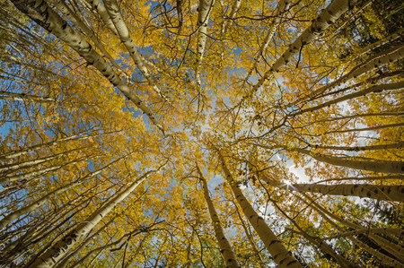 wide angle view looking up into the tree tops of aspen trees in the fall with bright yellow foliage