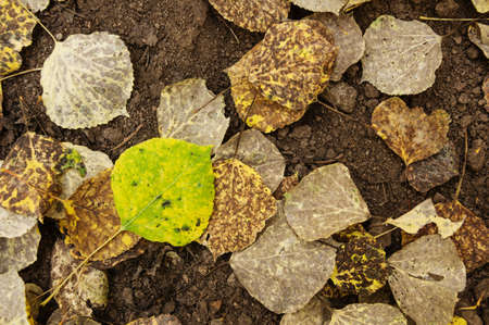aspen leaf: a green and yellow aspen leaf on the ground with other brown leaves in the autumn