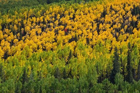distant aspens changing to yellow in the fall with green trees Stock Photo