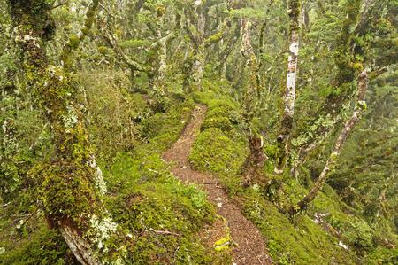 Tuatapere Hump Ridge Track path through the mossy New Zealand forest Stock Photo