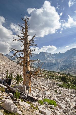 dead pine tree in the Sierra Nevada Mountains