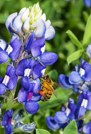 bluebonnet: honey bee pollinating a blue bluebonnet flower