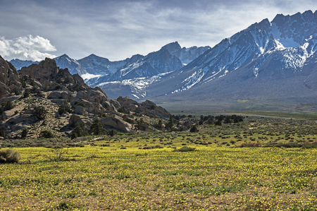 a field of yellow wildflowers below the Eastern Sierra Mountains