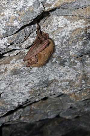 Townsends big eared bat sleeping in a mine hanging from the ceiling
