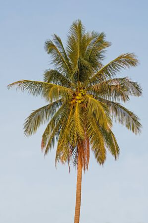 lone coconut palm top with fronds and coconuts
