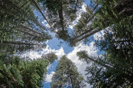 treetops: looking up into the treetops of a pine forest in Yosemite National Park California Stock Photo