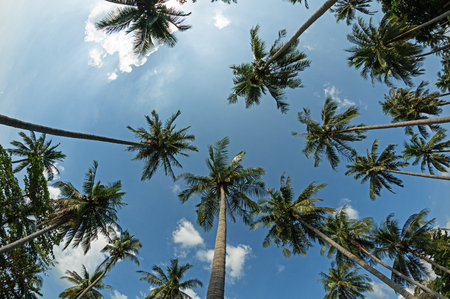looking up to the tops of coconut palm trees Stock Photo
