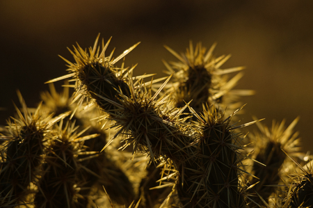 cholla cactus: backlit cholla cactus spine detail with dark background