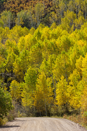 aspen grove: a country road curves past a grove of yellow aspen trees in the autumn