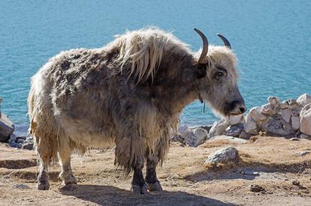 a yak near Gokyo Lake in Nepal Stock Photo